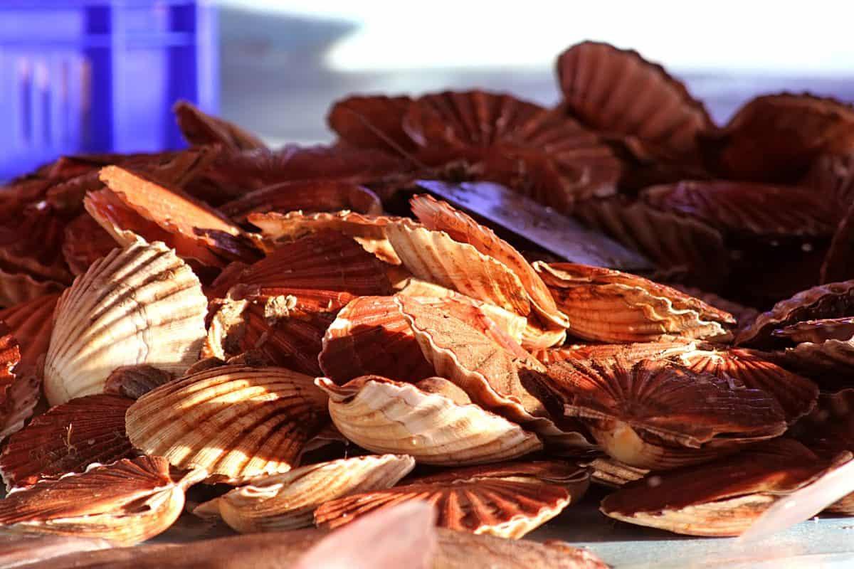 Coquilles Saint Jacques (crédit photo : calvados tourisme)